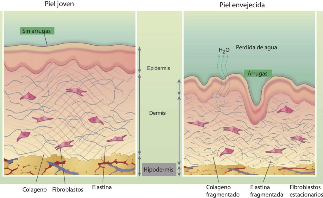 cómo funciona el colágeno en la piel