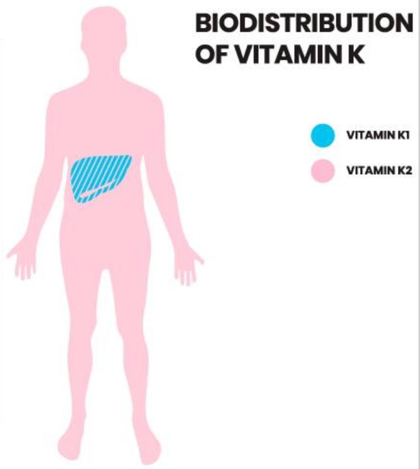 distribucion y funcion de los diferentes tipos de vitamina K